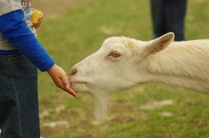 Kid + goat
